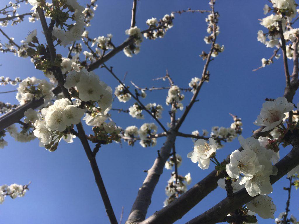 cherry blossom sunshine spring