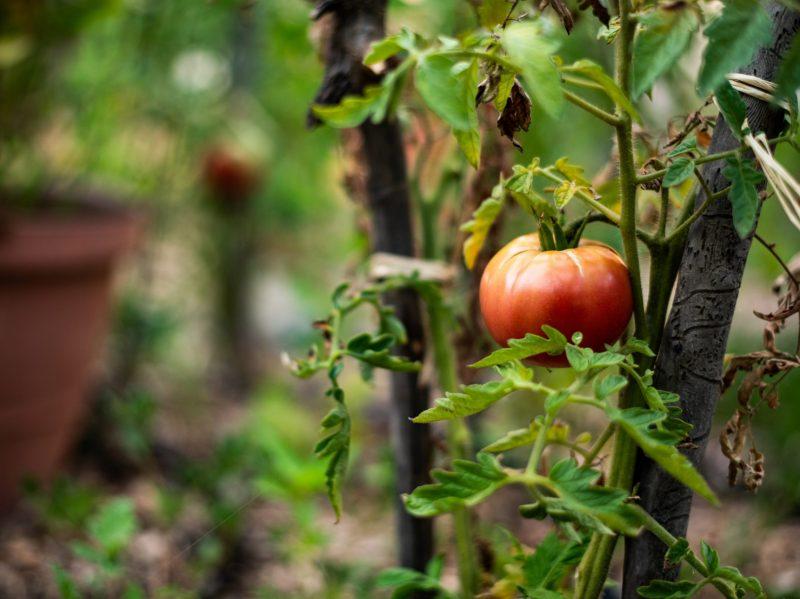 tomato plant garden pomodoro
